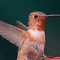 el-colibri-una-ave-amenazada-y-convertida-en-amuleto