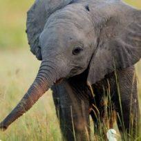 un-pueblo-entero-lleva-elefantito-en-brazos-para-salvarle-la-vida