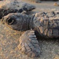 inicio-el-arribo-de-tortugas-playa-ostional