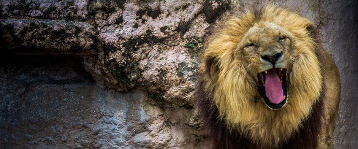 leona-asesina-al-leon-con-el-que-convivio-por-8-anos