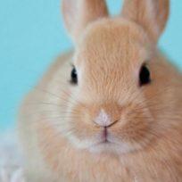 conmovedora-historia-de-un-conejo-que-nacio-sin-orejas