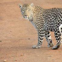 increible-un-taxista-sube-un-pasajero-con-un-leopardo