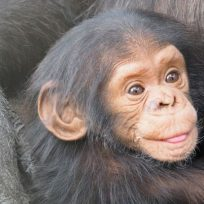 la-tierna-reaccion-de-un-chimpance-al-darse-un-bano