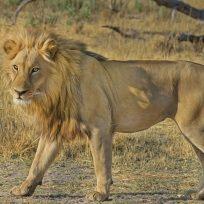mientras-dormia-asi-ataco-el-leon-su-leona