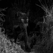 despues-de-100-anos-logran-fotografiar-leopardo-negro