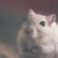 se-extingue-por-completo-el-primer-roedor-en-australia