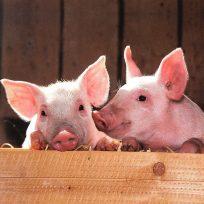 en-china-le-dan-la-bienvenida-al-ano-del-cerdo