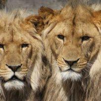 un-juego-mortal-tenia-leones-como-mascotas-y-lo-atacaron