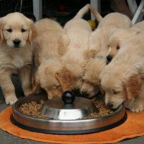 ha-llegado-el-momento-de-poner-tu-perro-dieta