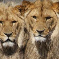 salio-devorado-por-leones-al-tratar-de-hacer-caza-ilegal