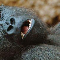 muy-chistosas-asi-posaron-dos-gorillas-para-una-selfie