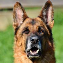 perro-policia-es-atrapado-por-200-puas-de-puercoespin