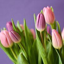¡Maravillosos! jardines de tulipanes holandeses