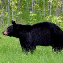 Imagínese salir al patio y encontrar dos osos peleando