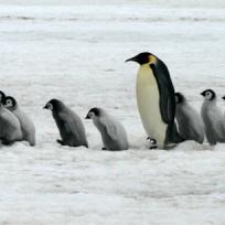 una-tragedia-pinguinos-son-banados-en-petroleo-en-el-oceano-indico