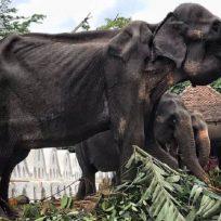 Elefante desnutrido