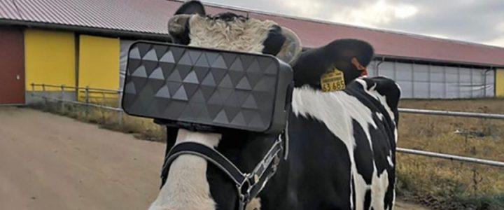 en-rusia-prueban-gafas-vr-vacas-para-que-crean-que-estan-en-el-campo-real