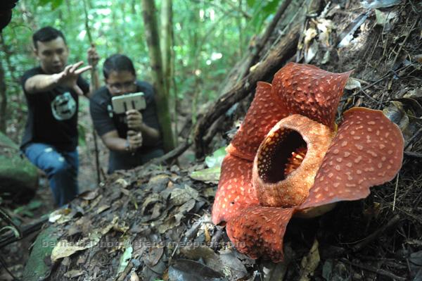 Muy grande, pero huele maluco: así es 'Rafflesia tuan-mudae', la flor más grande del mundo - Imagen 1