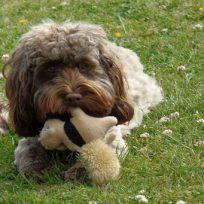 muy-tierno-perrito-lleva-su-juguete-al-veterinario-para-estar-mas-tranquilo