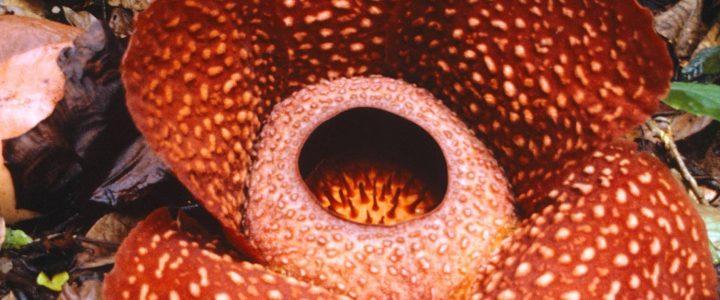 muy-grande-pero-huele-maluco-asi-es-rafflesia-tuan-mudae-la-flor-mas-grande-del-mundo