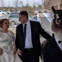 Joven llega a la boda de su hermana en compañía de una llama