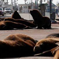 ¡Que viva la naturaleza! Lobos marinos invaden las playas de Mar del Plata