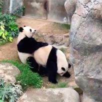 Pandas se aparean por primera vez tras 13 años de llegar a un Zoológico