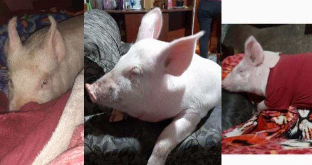 Familia busca a su cerdo mascota y su historia se hace viral en redes